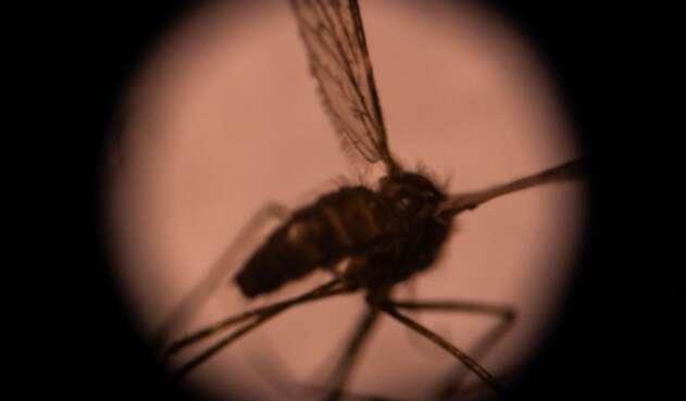 Un mosquito es visto desde un microscopio.