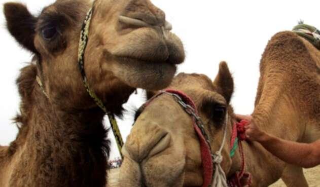 No es la primera vez que se sacrifican miles de animales salvajes como camellos o caballos que no son endémicos de Australia.