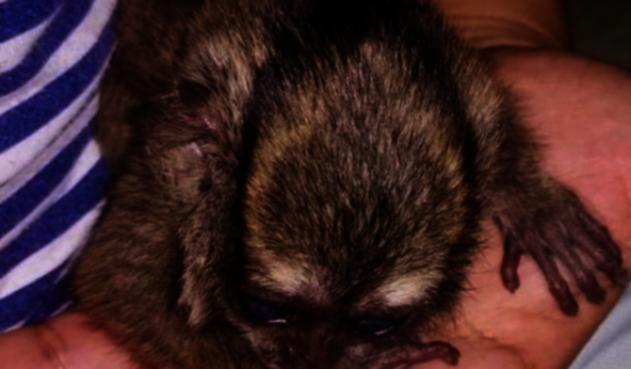 cría de Mono nocturno