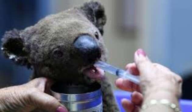 Los más de 200 focos de incendios forestales extinguieron al 50% de los koalas clave para su supervivencia.