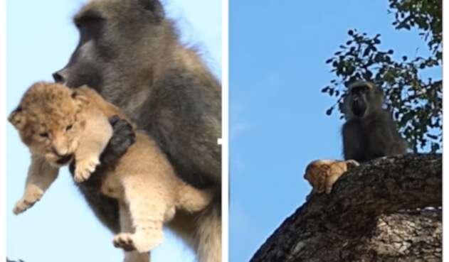 Babuino y león