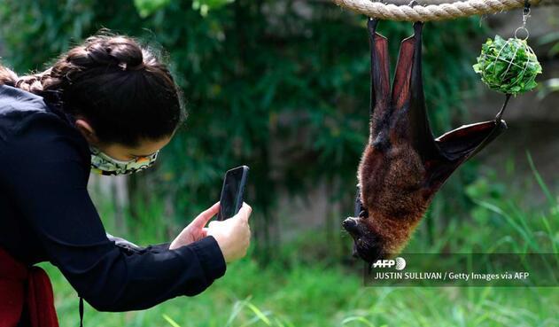 Estos oscuros mamíferos han vuelto a estar a la venta en los mercados de animales salvajes de la isla indonesia de Célebes.