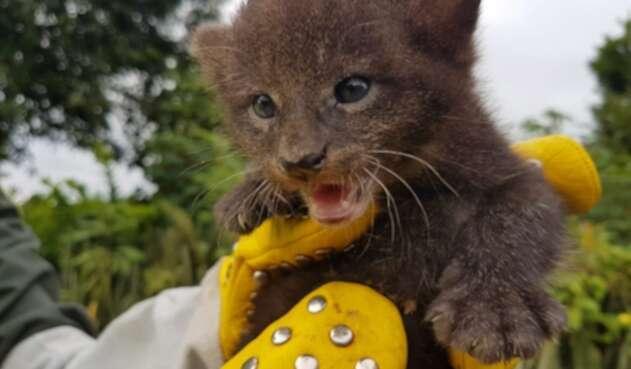 Estos podrán recibir la atención de una fundación experta en felinos