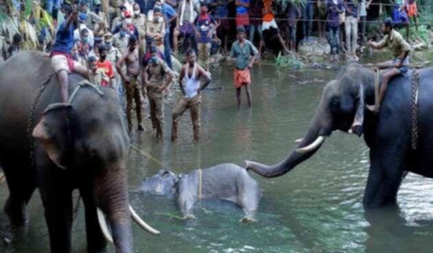 Elefanta preñada muerte por comer una fruta llena de petardos