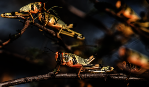 Plaga de langostas llegará a Brasil