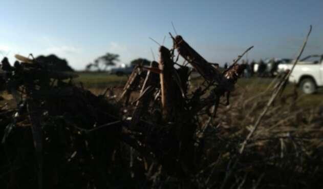 Desplazamiento de langostas en Latinoamerica