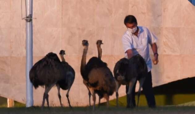 Bolsonaro mordido por un emu