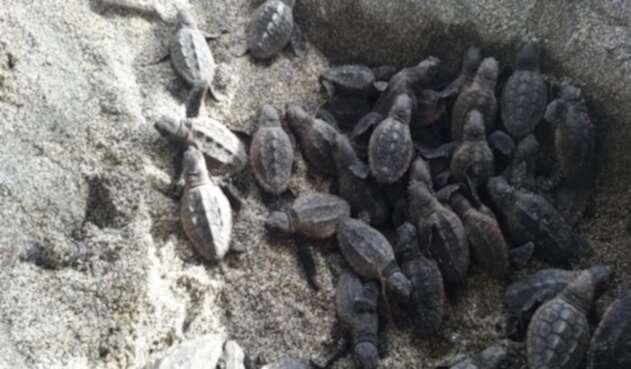 Cientos de tortugas nacieron en Parque Tayrona en medio de la falta de turistas