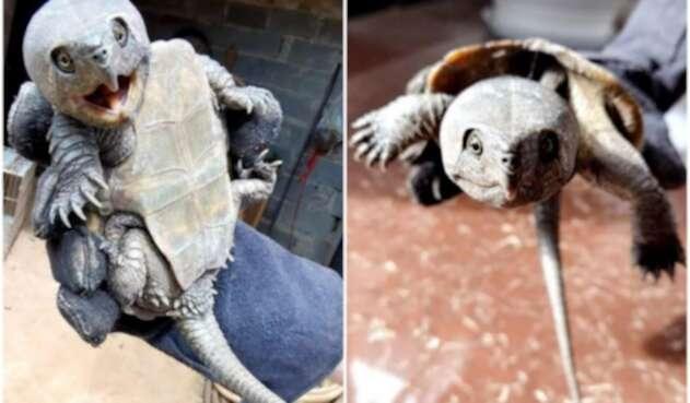 Encuentran extraña tortuga con pico y cola