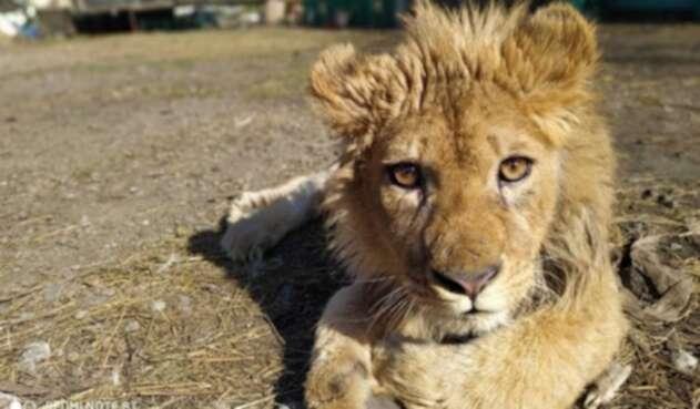 León maltratado