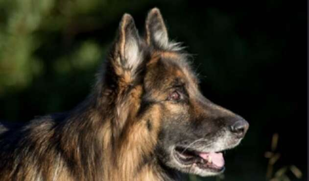 Perro / Pastor alemán
