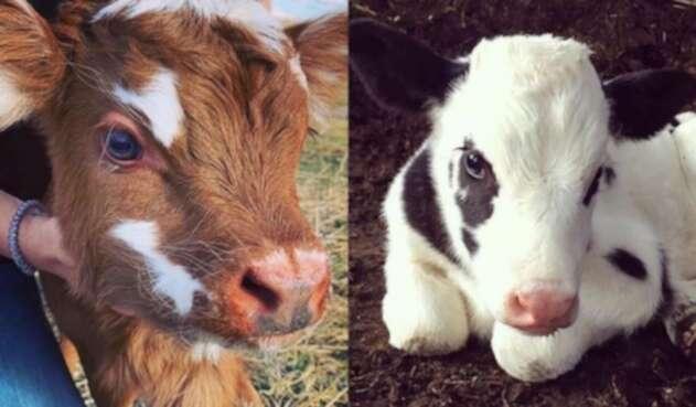 Vacas de peluche