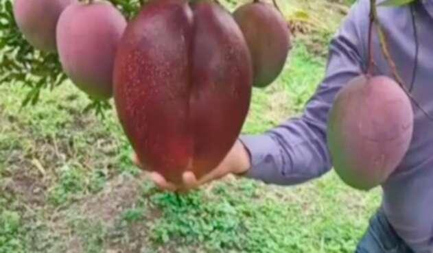 El mango más grande del mundo es colombiano