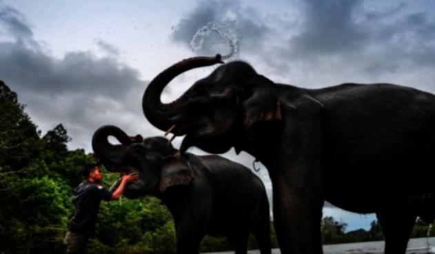 Elefantes en cautiverios