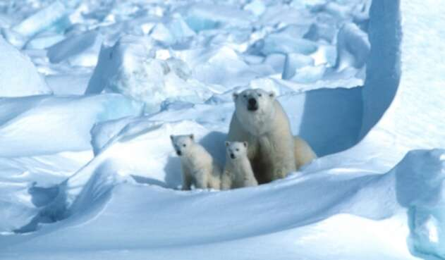 En Alaska, zona de osos polares, Trump autoriza perforaciones petroleras