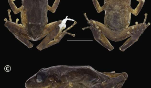 Nueva especie de rana, Pristimantis chamezensis.