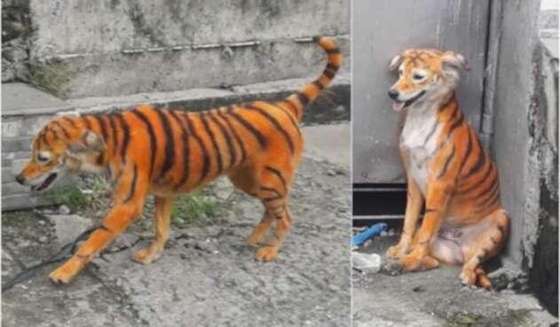 Indignación mundial por maltrato a perro que pintaron de tigre