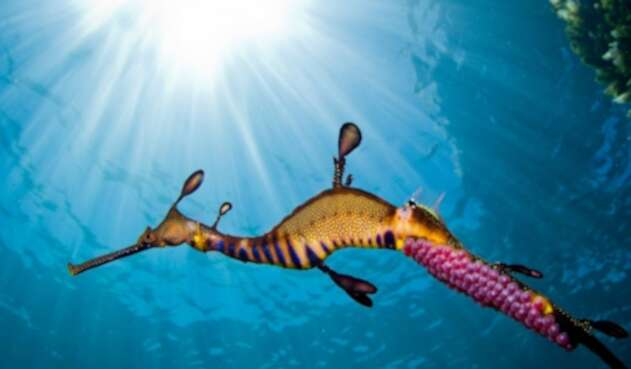 Dragones de mar: Extraño animal que nace por primera vez en Europa