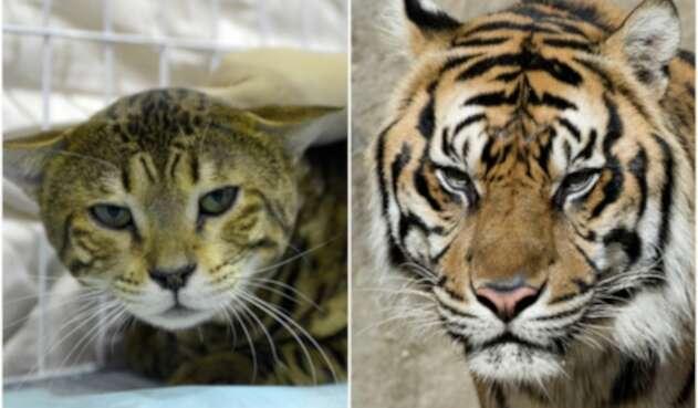 Tigre y Gato
