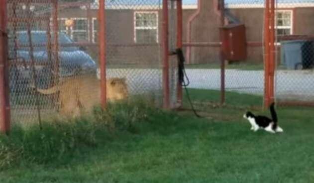 Gato y leona
