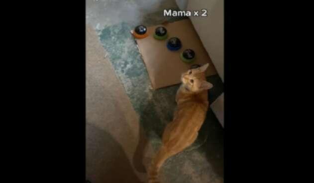 Gato que habla y trata mal a sus dueños en Tik Tok