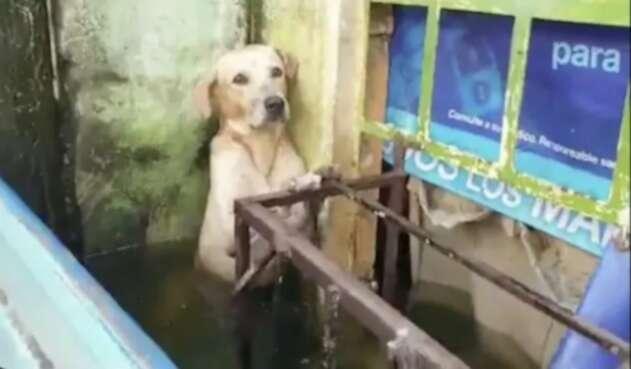 Rescate de perro labrador