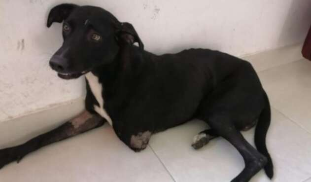Negro, perrito agredido en Purificación (Tolima).