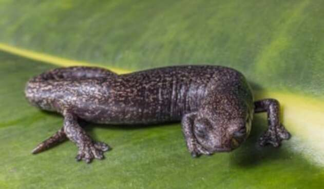 Salamandra en Parque Chingaza