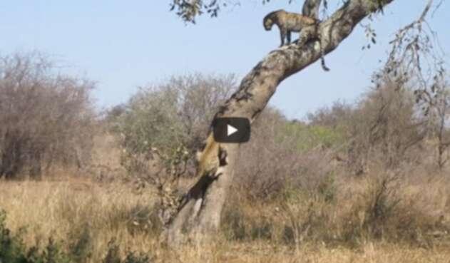 La pelea de dos leopardas que son familia por un macho