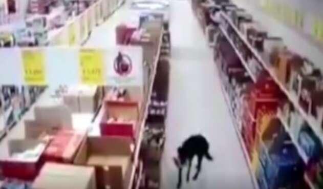Perro se robó comida de un supermercado y se desinfectó las patas al irse