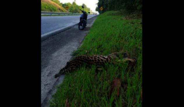 Jaguar fue arrollado en Santander
