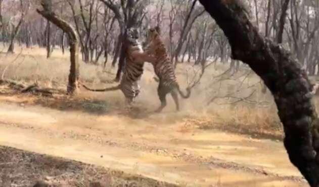 Los tigres enfrentados en parque de India