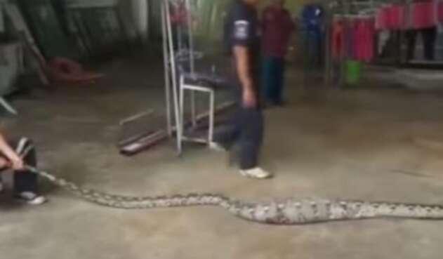 [Video] Serpiente pitón vomita a enorme cocodrilo tras ser capturada