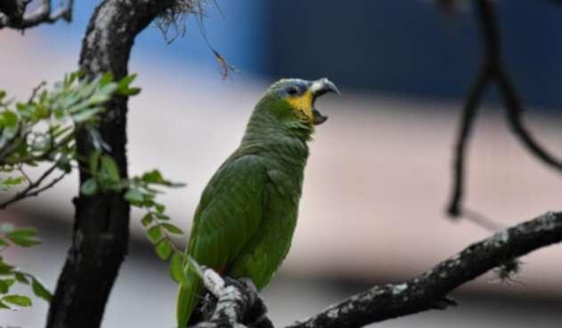Loro verde amazónico