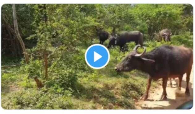 Ataque de búfalos a un leopardo