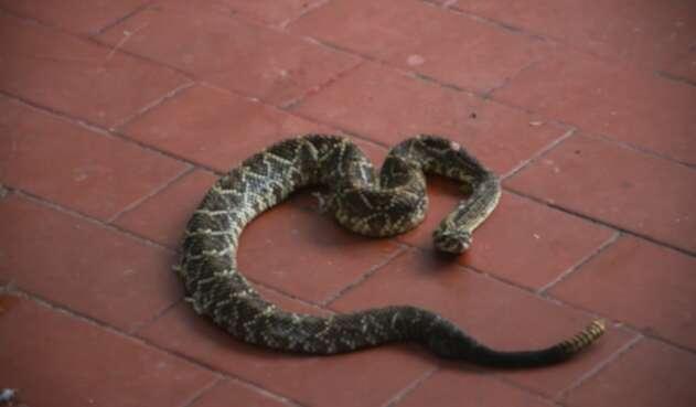 Serpiente cascabel rescatada con vida en Honda, Tolima.