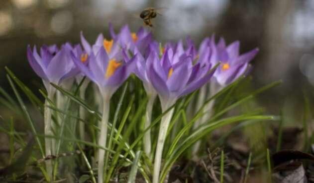 Polen de las flores