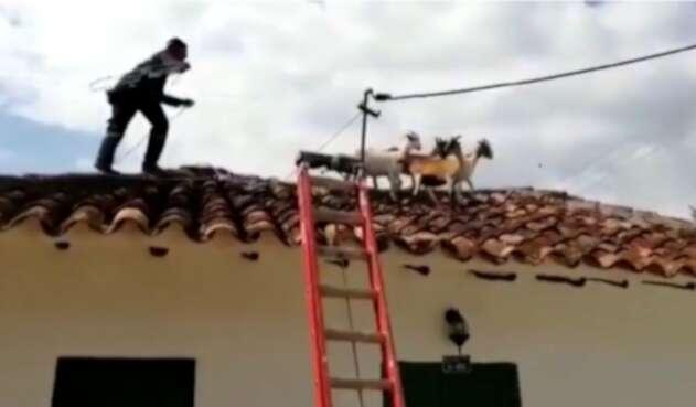 Cabras rescatadas por bomberos