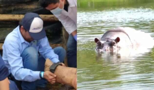 Hipopótamo con rastreador GPS