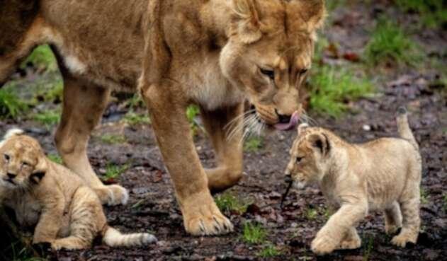 Leona y crías