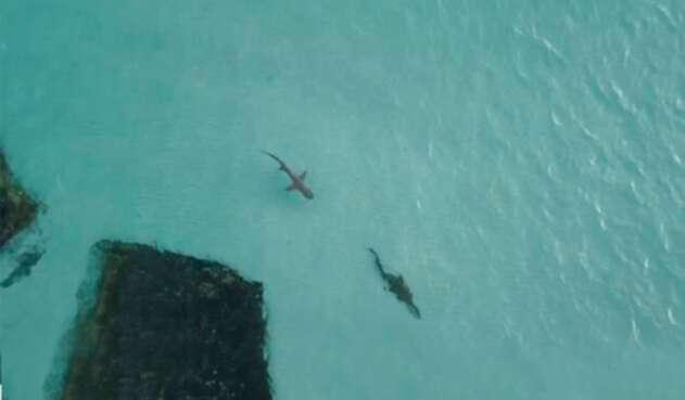 Tiburón y cocodrilo