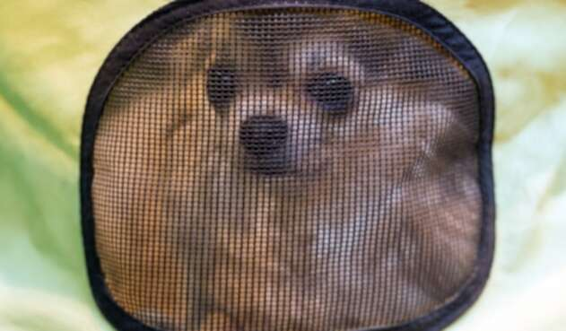 Perro chihuahua - referencia