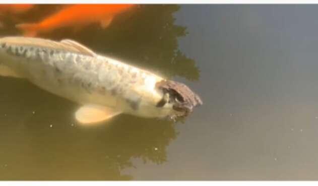 Rana nada sobre un pez