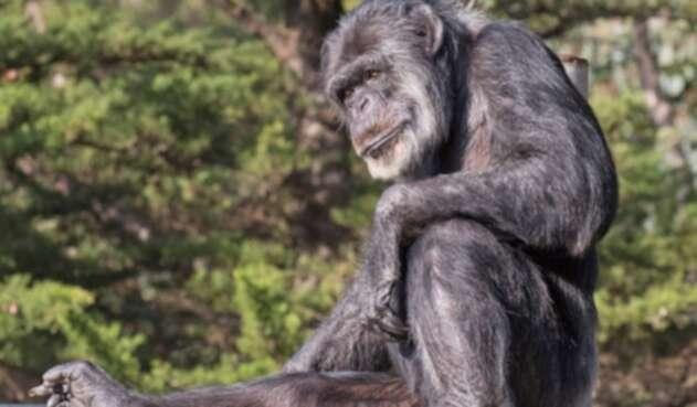 Cobby, el chimpancé más viejo