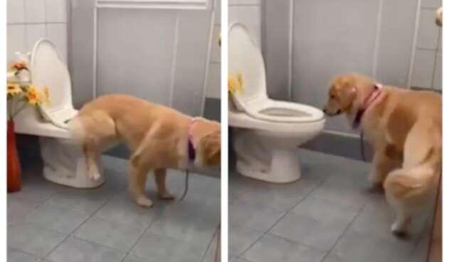 Tokio, perro viral que va al baño