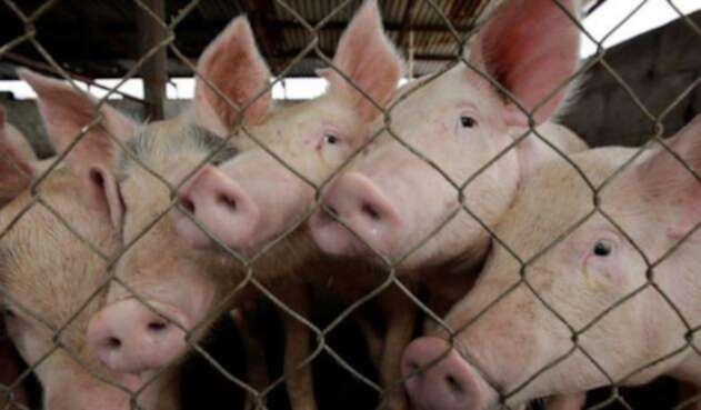 Cerdos-CimaHub.jpg