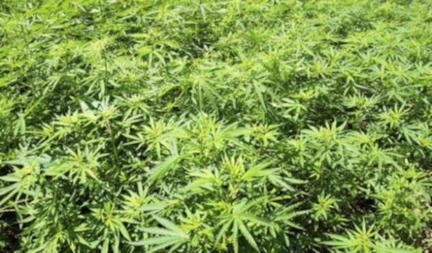 Marihuana-LAFm-Ingimage.jpg