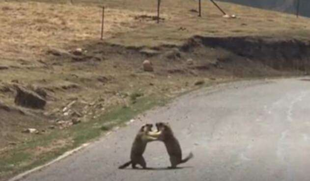 Marmota-.jpg