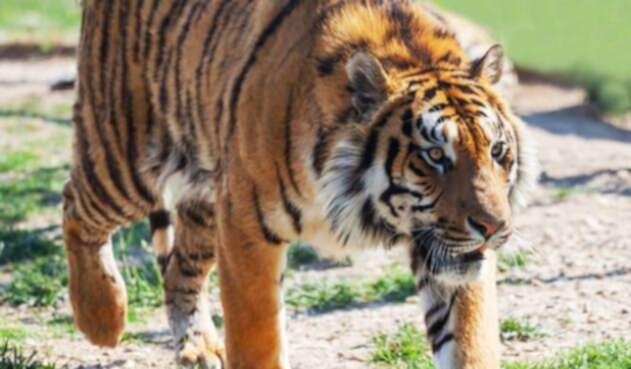 Tigre-Ingimage.jpg