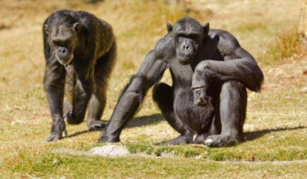 chimpancés.jpg